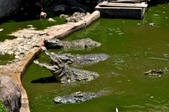 Crocodile in the zoo. Thailand Royalty Free Stock Photography