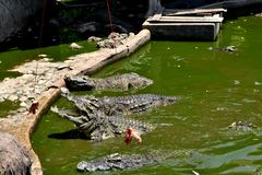 Crocodile in the zoo. Thailand Royalty Free Stock Photo