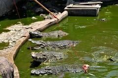 Crocodile in the zoo Stock Photography