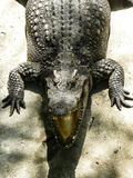 Crocodile. In the zoo of Thailand Stock Image