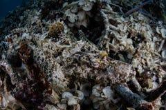Crocodilefish camouflé sur le fond sous-marin Image libre de droits