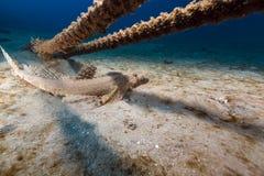Crocodilefish in de tropische wateren van het Rode Overzees stock afbeelding