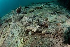 Crocodilefish en Raja Ampat Foto de archivo libre de regalías
