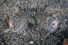 Crocodilefish Eyes. The eyes of a crocodilefish stick up above the sand in which the fish is camouflaging itself. The eyes have tissues that can expand or Stock Photography