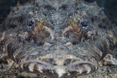 Crocodilefish Face Stock Photos