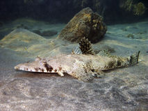 Crocodilefish full view Royalty Free Stock Photography