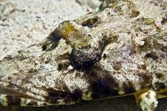 crocodilefish indean longic海洋papilloculiceps 库存照片