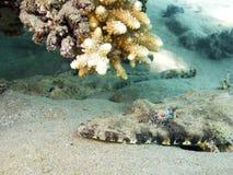 Crocodilefish macro Stock Image