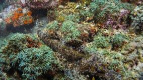 Crocodilefish Papilloculiceps longiceps - doskonalić mimetyzm na korala dnie Papua Niugini, Indonezja obraz stock
