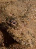 Crocodilefish przy jeden mój ulubeni makro- miejsca w Północnym Sulawesi, raju Jetty blisko Pulisan, Indonezja Zdjęcie Stock