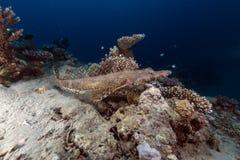 Crocodilefish in the Red Sea. royalty free stock photo