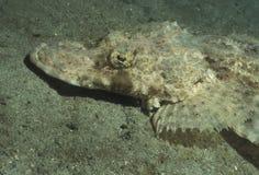 Crocodilefish a testa piatta - ritratto Immagini Stock Libere da Diritti