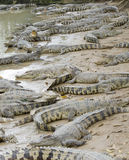 Crocodiles Royalty Free Stock Photos