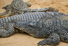 Crocodiles. Lying next to each other on sand royalty free stock images