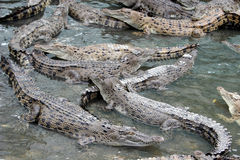 Crocodiles Images libres de droits