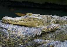 The crocodiles Stock Photos
