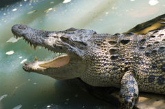 The crocodiles Royalty Free Stock Image