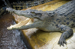 The crocodiles Royalty Free Stock Photo
