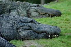 Crocodiles. A couple of crocodiles resting on grass Stock Images