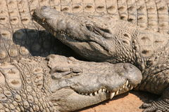 Crocodiles. Two crocodiles royalty free stock images