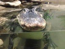 crocodiles Photos stock
