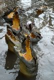 Crocodiles. Trying to catch a fish, Vietnam Stock Photo