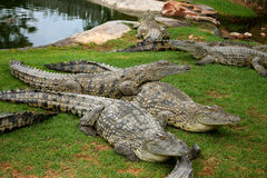 crocodiles Photos stock