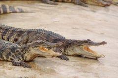 crocodiles images libres de droits