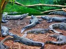crocodiles Photographie stock