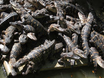 crocodiles Image stock