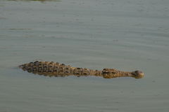 Crocodiles of Africa Royalty Free Stock Image