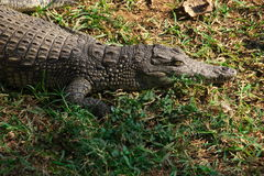 Crocodiles of Africa Royalty Free Stock Images