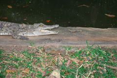 Crocodiles of Africa Royalty Free Stock Photo
