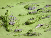 Crocodiles and aligators in the water, Florida royalty free stock photos