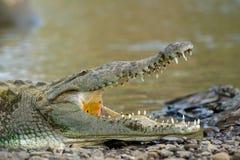 Crocodiles américains Images libres de droits