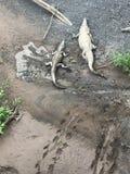 Crocodiles américains au Costa Rica Photos stock