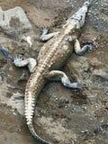 Crocodiles américains au Costa Rica Image libre de droits