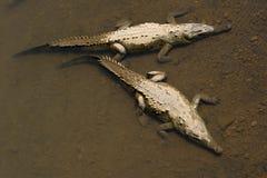 Crocodiles américains, vue de ci-avant. Images stock