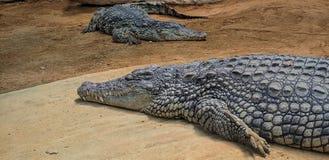 Crocodiles avec les yeux de enflement photos libres de droits