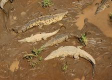 Crocodiles basking at river's edge Royalty Free Stock Image