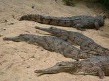 Crocodiles on the beach. Freshwater crocodiles on the sand beach, Austarlia Stock Photos