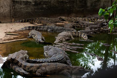 Crocodiles bien nourris sur le rivage Photo libre de droits