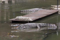 Crocodiles in big pond of crocodile farm Royalty Free Stock Image