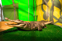 Crocodiles in captivity. Two crocodile that are in the terrarium. Big crocodile with an open mouth royalty free stock images