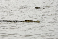 Crocodiles on Chamo Lake (Ethiopia) Stock Photos