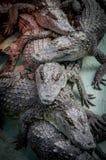 Crocodiles. Royalty Free Stock Photos