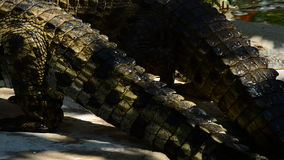 Crocodiles coming out of a river in natural park. Crocodile or alligator in a river of a natural park or zoo stock video
