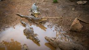 Crocodiles. At crocodile farm in Cuba Royalty Free Stock Image