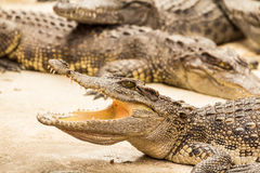 Crocodiles. Crocodile with open mouth lying in farm, Thailand Stock Image