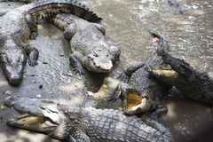 Crocodiles. Crocodile in the park, fishing Stock Images
